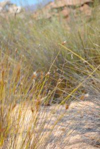 Cederberg grass