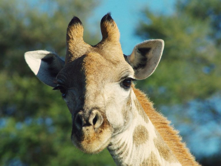 Etosha girafe