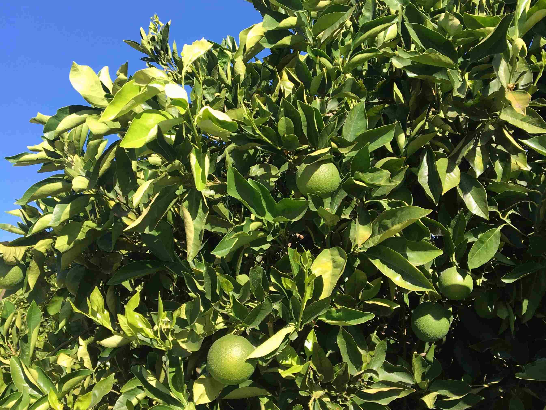 Un week-end aux saveurs d'agrumes à Citrusdal