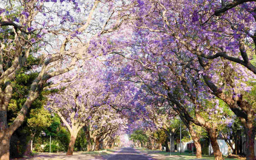 La magie des jacarandas de Johannesburg