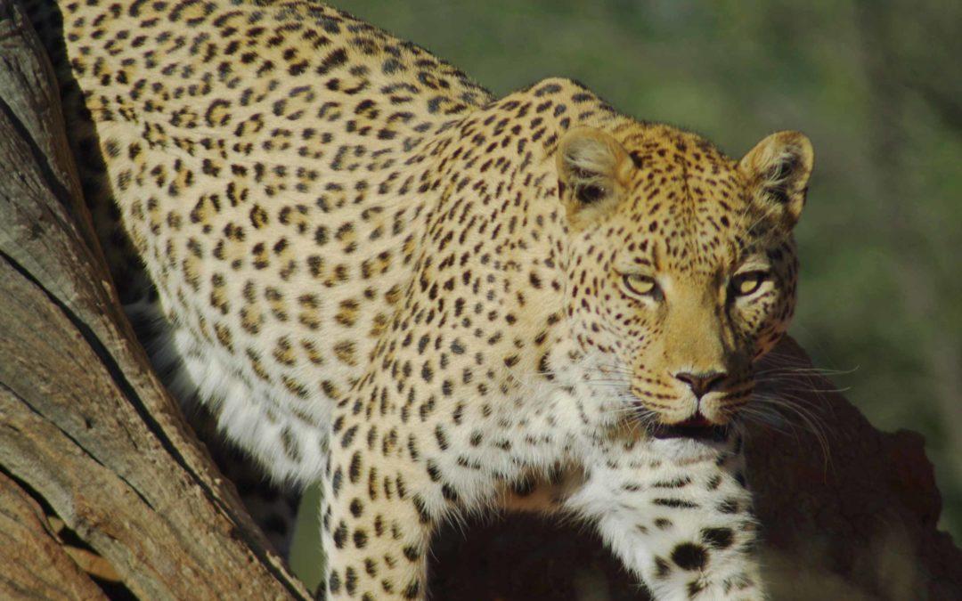 Namibie: Okonjima, le royaume des léopards