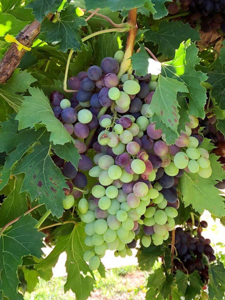 Vignobles du Cap
